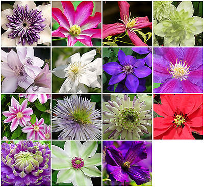 10x Clematis Hybrid Flower Seeds, Garden Plant, Choice Of Colour * UK Seller • 2.39£