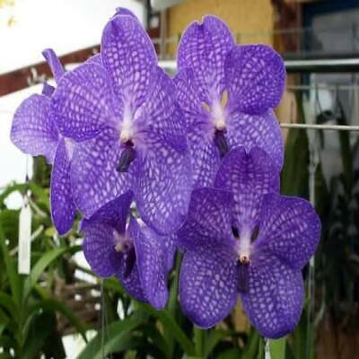 AU5.50 • Buy Rare Hot White And Purple Ghost Monkey Orchid, Orchid Seeds - Exotic - Fresh