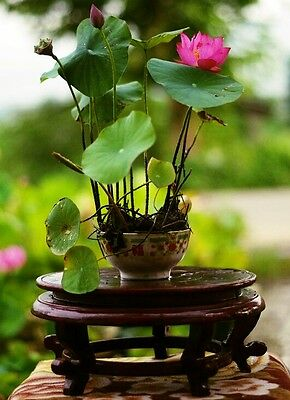 $ CDN12.66 • Buy 10 Seeds Nelumbo Nucifera,Bowl Lotus Seeds,Bonsai Lotus,can Grow In Little Bowls