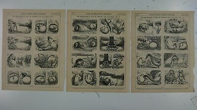 3x7x10  Punch Cartoon 1869 THE EGG POACHER A Tale Of Country Life, Print Series • 40£