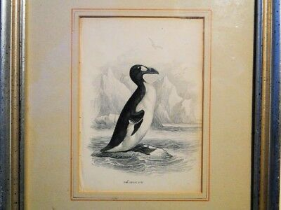 £54.32 • Buy THE GREAT AUK Color Engraving  By Paul D. Stevens Circa 1838 Framed