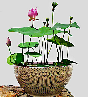 $ CDN9.58 • Buy Nelumbo Nucifera Seeds, Chinese Mini Lotus Flowers, Bowl Lotus, Bowl Lotus