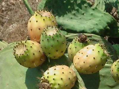 100+ FRESH Prickly Pear / Opuntia Ficus Indica Seeds Yellow Variety • 2.82£