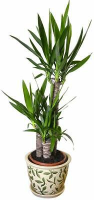 Indoor Plant -House Or Office Plant -Yucca Elephantipes - Spineless Yucca 80cms  • 26.99£