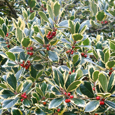 Ilex Altaclarensis Golden King -Variegated Holly Plant In 9 Cm Pot • 4.75£