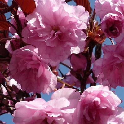 Dwarf Patio Royal Burgundy Flowering Japanese Cherry Tree 3-4ft 5L Pot • 39.99£