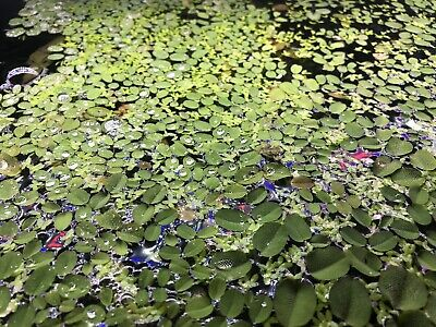 Mix Salvinia (natans)X30 Plants And Duckweed Portion Live Aquatic Floating Plant • 4.50£