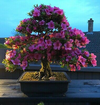 Rhododendron schlippenbachii 20 Fresh seeds Royal Azalea Superb as a Bonsai