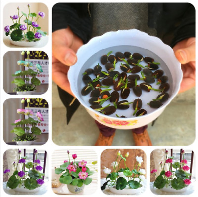 $ CDN5.07 • Buy Lotus Flower Seeds Rare Water Plants Bonsai Hydroponic Garden Lotus Flower 10Pcs