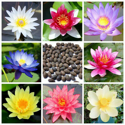$ CDN4.59 • Buy Lotus Flower Seeds Bonsai Aquatic Plants Bowl Lotus Water Lily Garden 10 Pcs