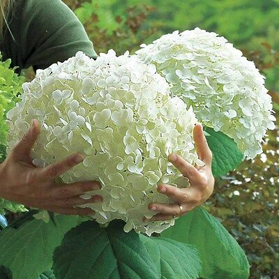 £20 • Buy Hydrangea Arborescens Strong Annabelle In 3L Pot Aka Incrediball