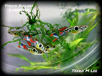 $50 • Buy 🐟🐟 1 Live Trio Of Staeck Endlers Livebearer - Guppy Poecilia Wingei Fish🐟🐟