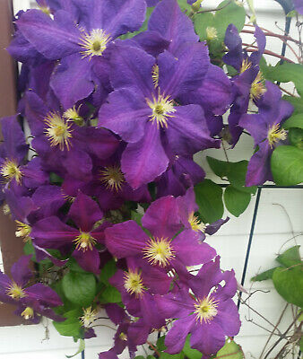 £3.80 • Buy Clematis Clématite JACKMANII SUPERBA BIGGER Flower LARGE Seeds VELVET PURPLE +