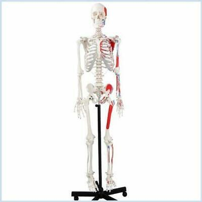 $149 • Buy Wellden Medical Life-Size 170cm Anatomical Human Skeleton Model Painted Numbered