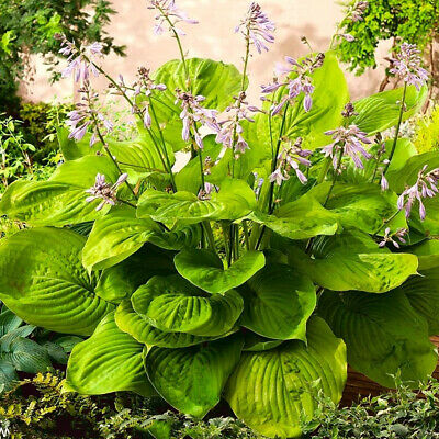 Hosta Sum And Substance - Plantain Lily, Plant In 9cm Pot • 4.30£