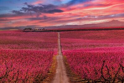 Colourful Sunset Pink Blossom Field Landscape Photographic Print Wall Art • 20£