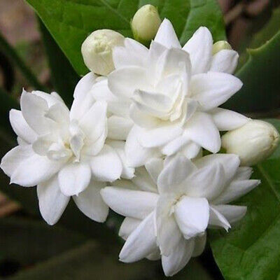 $2.83 • Buy 200Pcs White Jasmine Flower Seeds Jasminum Sambac Perennial Plant Garden Decor