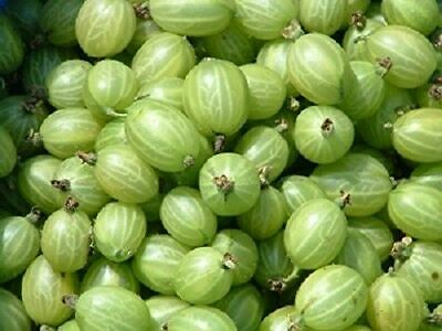 Gooseberry Invicta Patio Fruit Plant Standard Tree Shape 5ft Tall In 7 Litre Pot • 39.99£