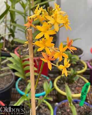AU20 • Buy CRUCIFIX ORCHID (Epidendrum) ALL COLOURS AVAILABLE
