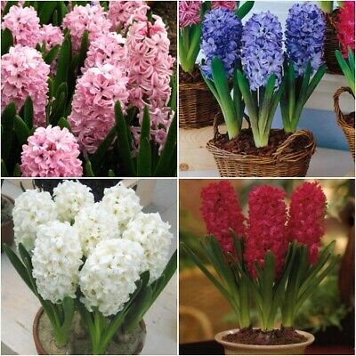 HYACINTH *BEDDING MIXED* Early Flowering Spring Bulbs • 6.95£