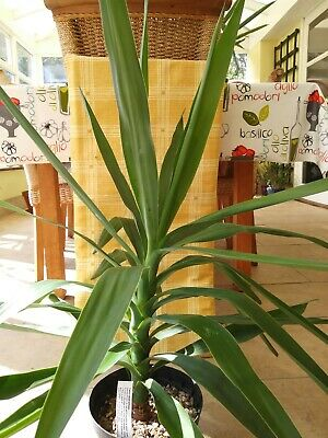 Yucca Elephantipes. An Architectural Indoor/house Plant. • 12.99£