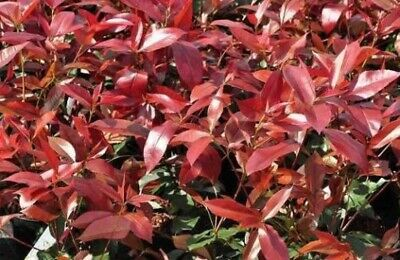 3x 4-5FT LARGE PHOTINIA RED ROBIN EVERGREEN HEDGING PLANTS TREES 3L POTTED • 26.80£