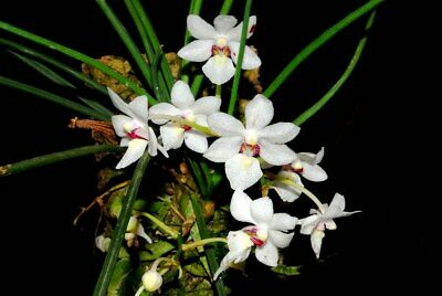 AU18 • Buy Holcoglossum Rupestre (flowering Size) - Species Orchid