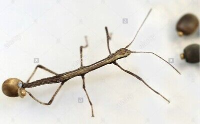 Indian Walking Stick Insect Eggs And Hatchery - Carausius Morosus Ova • 3.50£