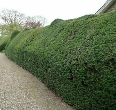PALLET 10x 4-5FT EXTRA LARGE TAXUS BACCATA EVERGREEN YEW INSTANT HEDGING TREES • 549£