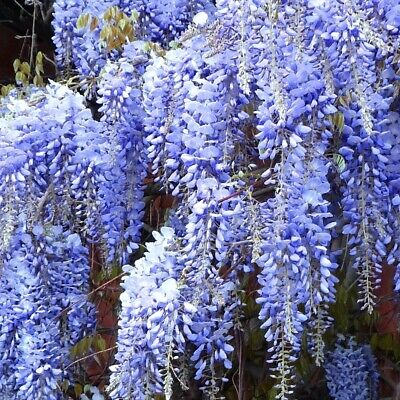 20+ FRESH Seeds Wisteria Sinensis / Blue Chinese Wisteria Tree -Gorgeous Blooms! • 4.30£