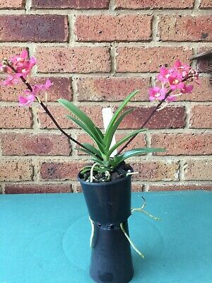 AU34.50 • Buy Orchid: Sarcochilus Seedling (in Flower)