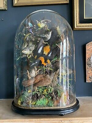 Large Victorian Taxidermy Dome Exotic Birds • 750£