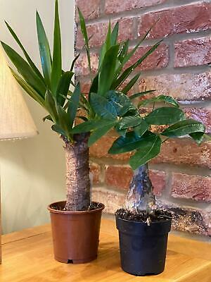 2 Mixed Indoor Houseplants By Direct Plants Yucca & Pachira 40-60cm Tall  • 24.99£