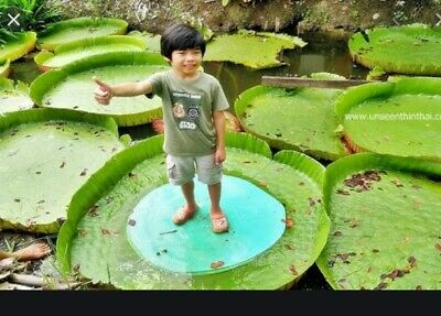 $ CDN3.89 • Buy *UNCLE CHAN* 10 Seeds Victoria Lotus Victoria Amazonica Water-lilies