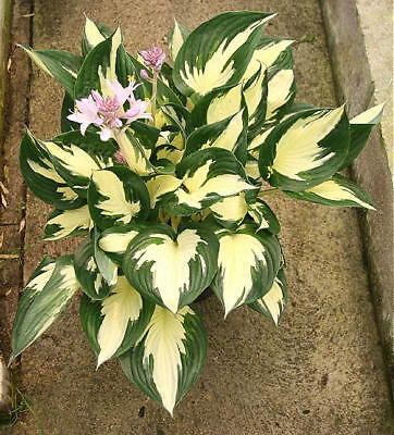 Hosta Whirlwind AGM With Twisted Leaves Good Garden Plant Ex 2 Litre Pot • 27£