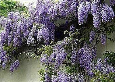 1X 4-5FT LARGE WISTERIA SINENSIS PROLIFIC PLANT (Grafted) CLIMBER 7.5L • 39.99£