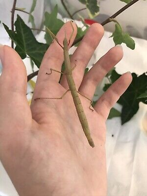 10 Indian Stick Insect Eggs (C. Morosus) - Hatching February/March • 1.85£