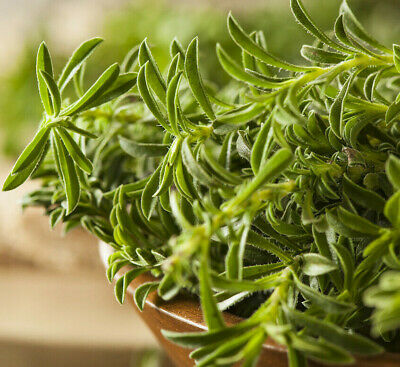 Summer Savory Seeds | Organic Vegetable Herb Leaf Plant Garden Thyme Seed 2021 • 2.75£