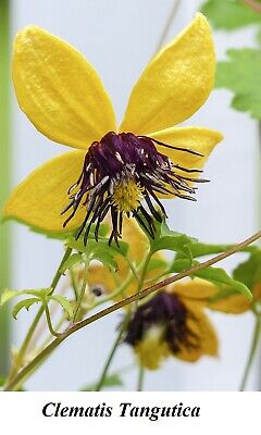 £6.67 • Buy Seed Clematis Tangutica Golden Clematis Climbers Vines Lianas Old Man's Seeds ++