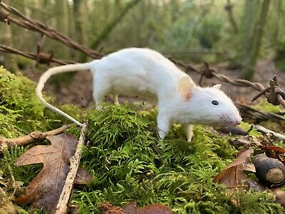 Taxidermy Mouse Cute Oddity  • 25£