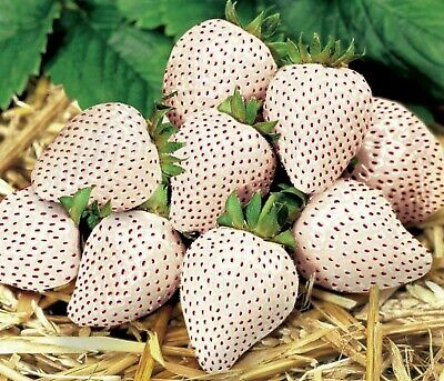 3x9CM POTTED PINEBERRY PLANTS 001 • 5.99£