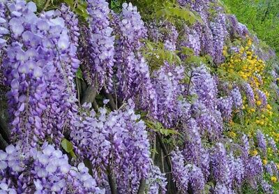 Wisteria Sinensis Prolific In 2L Pot White • 17.50£