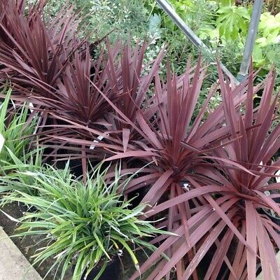 £5.96 • Buy Cordyline Australis Red Star-Cabbage Palm Plant In 9 Cm Pot