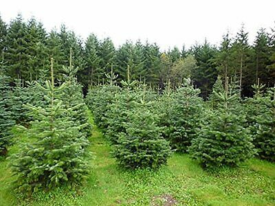 10 Nordmann Xmas Tree Field Grown Bare Root 15-25cm Tree Whip Plants • 37.02£