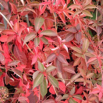 £16.14 • Buy Parthenocissus Henryana On Cane-Chinese Virginia Creeper Plant In  3.5 '' Pot