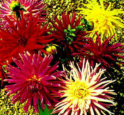 10 X Dahlia Cactus Flowered Mixed 10 Seeds - Annual #tl • 3.99£