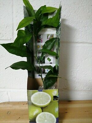 £14.99 • Buy Citrus Mexican Lime  Indoor House Or Garden Plant In 9cm Pot