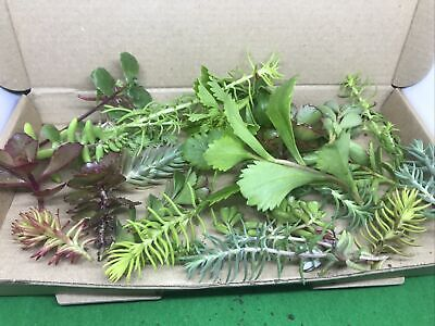 £6.50 • Buy Box Full Of Sedum Succulents  Cuttings Outdoor Hardy Groundcover Greenroof