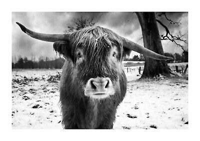 £10.99 • Buy Highland Cow Black And White Scottish Animal Wall Art Poster/Canvas Picture