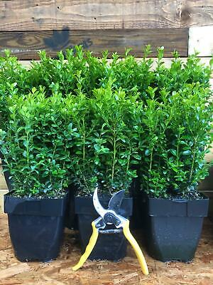 £29.97 • Buy 3X EXTRA LARGE BUXUS BOX HEDGING PLANTS EVERGREEN - VERY BUSHY 30cm IN 2L POTS